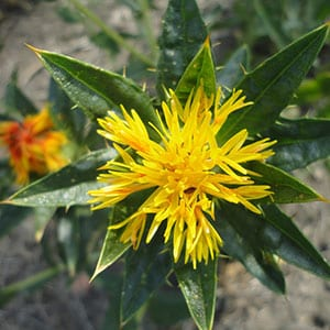 Safflower-Oil-Powder Winsol Ingredient